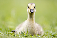 Europe, Germany, Bavaria, Canada Goose chick on grass - FOF004909