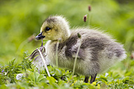 Europe, Germany, Bavaria, Canada Goose chick on grass - FOF004911