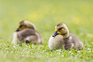 Europe, Germany, Bavaria, Canada Goose chicks on grass - FOF004919