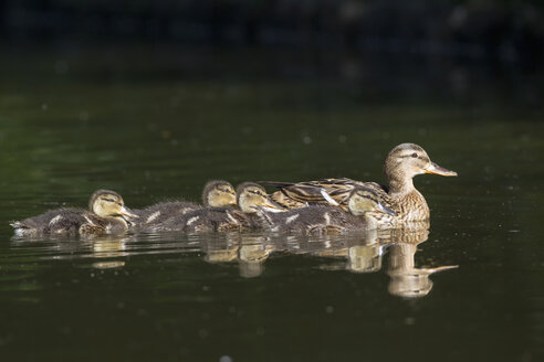 Germany, Bavaria, Female mallard duck with ducklings swimming in water - FOF004939
