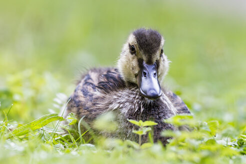 Germany, Bavaria, Mallard duckling sitting in plants, close up - FOF004944