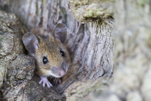Germany, Bavaria, Yellow-necked Mouse on rock, close up - FOF004951