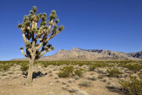 USA, Nevada, Mojave desert with joshua tree - ESF000296