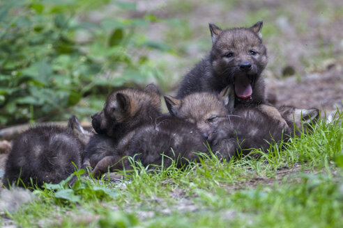 Germany, Bavaria, Gray wolf pups in forest - FOF005010