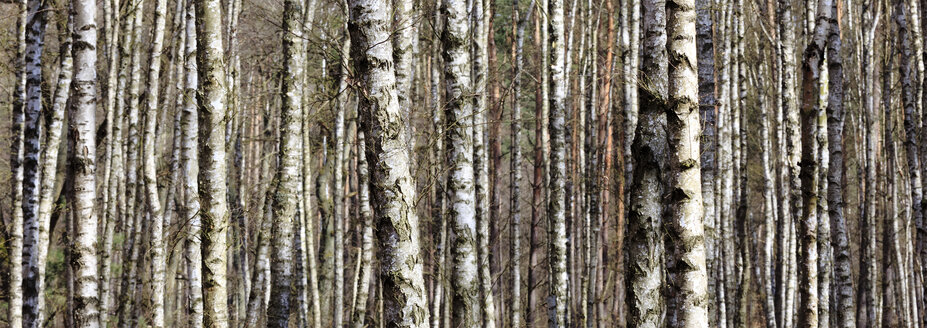 Germany, Mecklenburg Vorpommern, Grove of birch trees during spring at Muritz National Park - ATAF000014