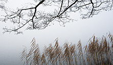 Austria, View of trees with reed in morning fog at Mondsee - WW002762