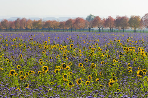 Germany, Baden Wuerttemberg, Stuttgart, View of sunflower field and trees in background - WDF001628
