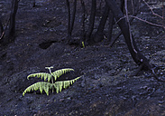 Spain, La Gomera, View of Garajonay National Park after forest fire - DISF000017