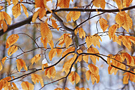 Germany, Dried beech tree in forest during winter - JTF000293