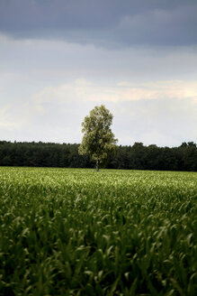 Germany, Mecklenburg Vorpommern, View of a single tree between field - TKF000029