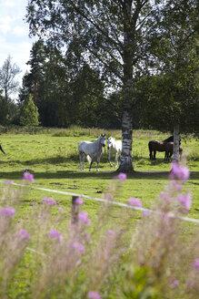 Sweden, Horses standing on grass - TK000042