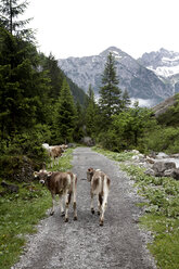 Austria, Cows on country road at alps - TK000085