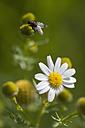 Germany, Bavaria, Fly on chamomile flower - CRF002338