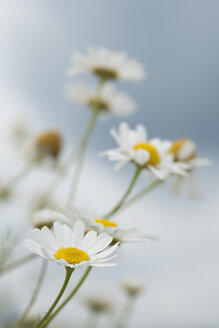 Chamomile flowers, close up - CRF002341