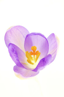 Crocus flower on white background, close up - JTF000294