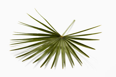 Palm leaf on white background, close up - CSF018041