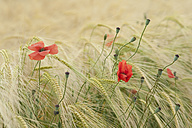 France, Poppies in corn field - CRF002349