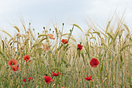 France, Poppies in corn field - CRF002353