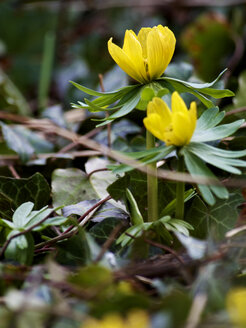 Germany, Hessen, Winter aconite flower - MHF000142