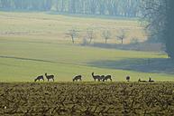 Germany, Hessen, Roe deer grazing - MHF000144