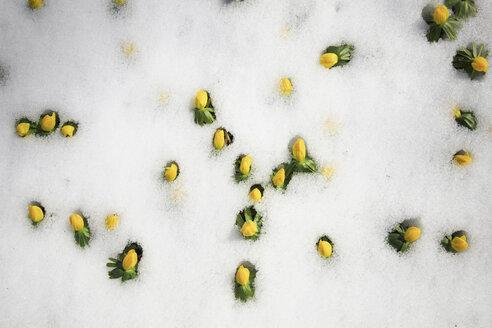 Germany, Winter aconite in snow - JTF000349