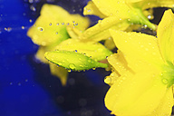 Daffodil flowers with waterdrops against blue background - JT000346