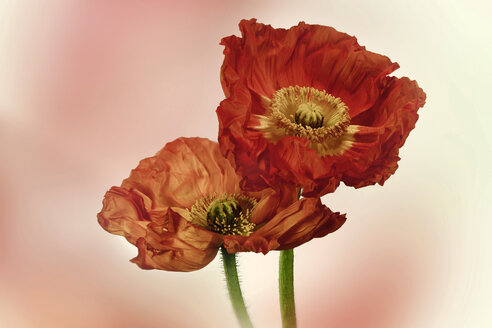 Germany, Baden Wuerttemberg, Red poppies, close up - BSTF000031