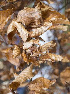 Germany, Munich, Dry leaves of oak tree in autumn - LF000497