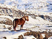 Iceland, View of Islandic horse on snow covered pasture - BSC000259