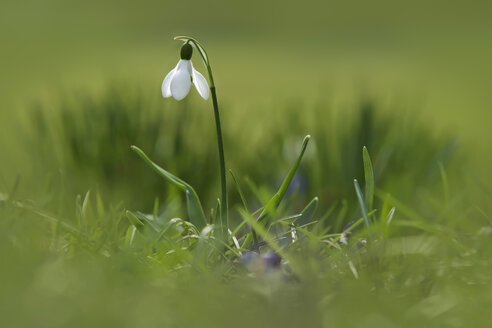 Germany, Baden Wuerttemberg, Galanthus flower - BSTF000036