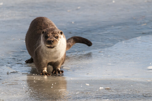 Germany, Brandenburg, European Otter at frozen lake - CB000012