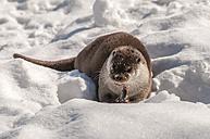Germany, Brandenburg, European Otter eating fish in winter - CB000019