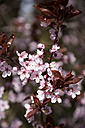 Germany,  Wuerzburg, Cherry flowers in garden - NDF000378