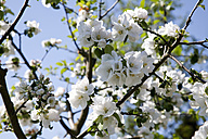 Germany, Wuerzburg, View of Cherry tree, close up - NDF000367