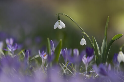 Germany, Baden Wurttemberg, Galanthus and Crocus flowers - BSTF000037