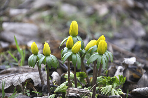Germany, Bavaria, View of winter aconite - AXF000442