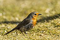 Germany, Hesse, Robin perching on grass - SR000006