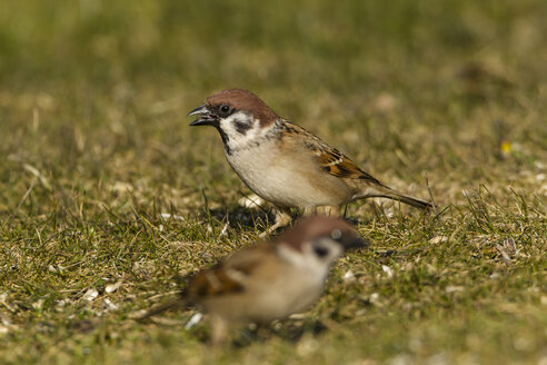 Germany, Hesse, Sparrows perching on grass - SR000027