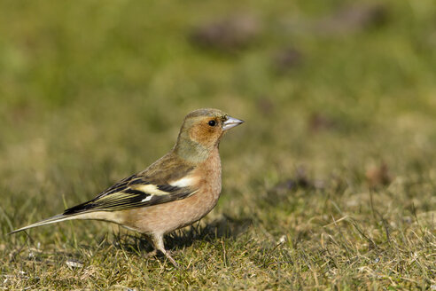 Germany, Hesse, Chaffinch bird perching on grass - SR000040