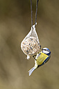 Germany, Hesse, Blue tit on bird feeder - SR000036
