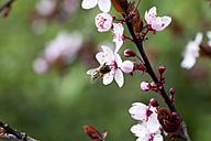 Germany, Wuerzburg, Honey bee on cherry blossom - NDF000387