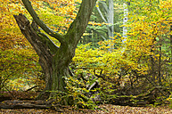 Germany, Hesse, Decayed beech tree in autumnal Sababurg forest - CB000052