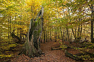 Germany, Hesse, Decayed beech tree in autumnal Sababurg forest - CB000056