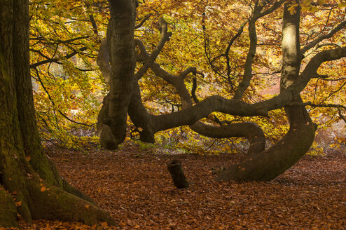 Germany, Hesse, Beech tree in autumn at Sababurg forest - CB000047
