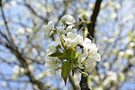 Germany, North Rhine-Westphalia, Cherry blossom tree in spring - ONF000179