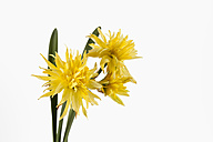 Yellow daffodil flowers against white background, close up - CSF018929