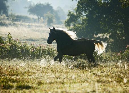 Germany, Baden Wuerttemberg, Black forest horse walking on grass - SLF000001