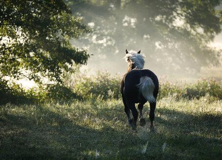 Germany, Baden Wuerttemberg, Black forest horse running on grass - SLF000009