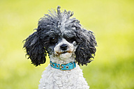 Germany, Baden Wuerttemberg, Poodle dog in garden, close up - SLF000070
