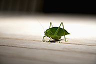 Brazil, Grasshopper on wooden table, close up - NDF000399